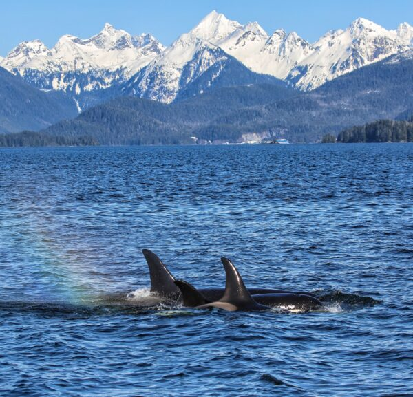 A pod of killer whales in Sitka Sound